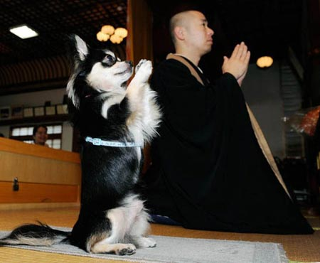 Naha, Japan: Conan, a male chihuahua, mimics Buddhist priest Joei Yoshikuni at Jigenin temple